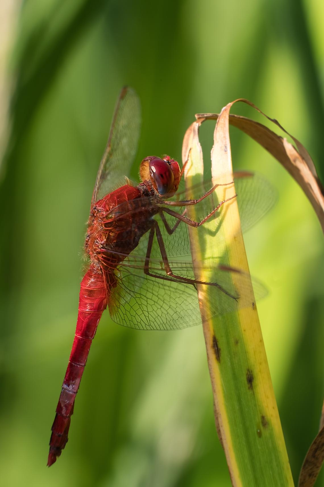 002 Libelle