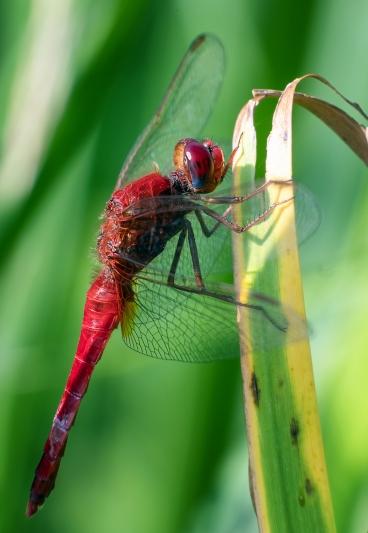 004 Libelle