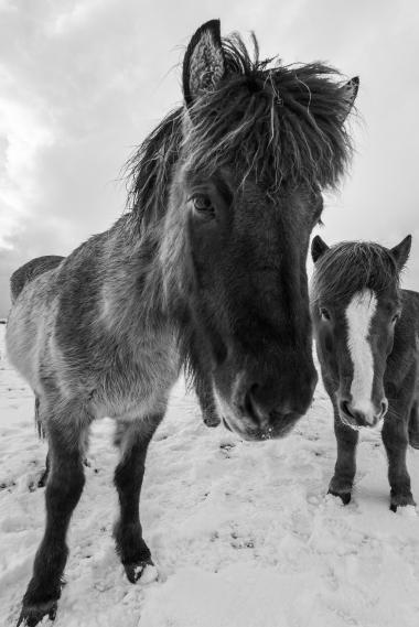 Fludir_Horses_jpeg (14)