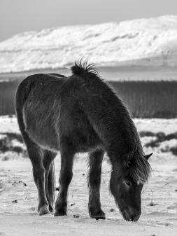 Fludir_Horses_jpeg (2)
